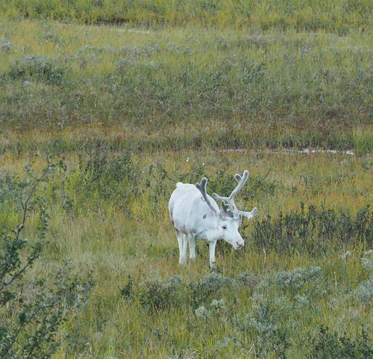 white deer 1