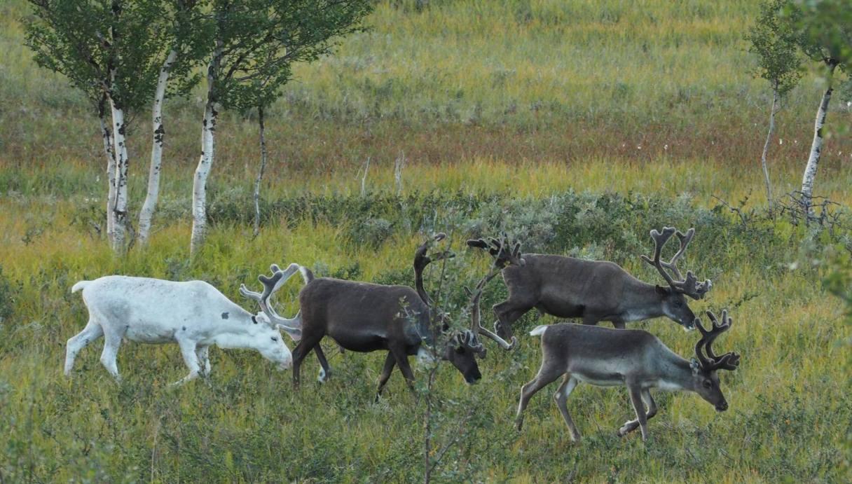 white deer2