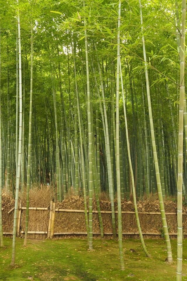 bambus5